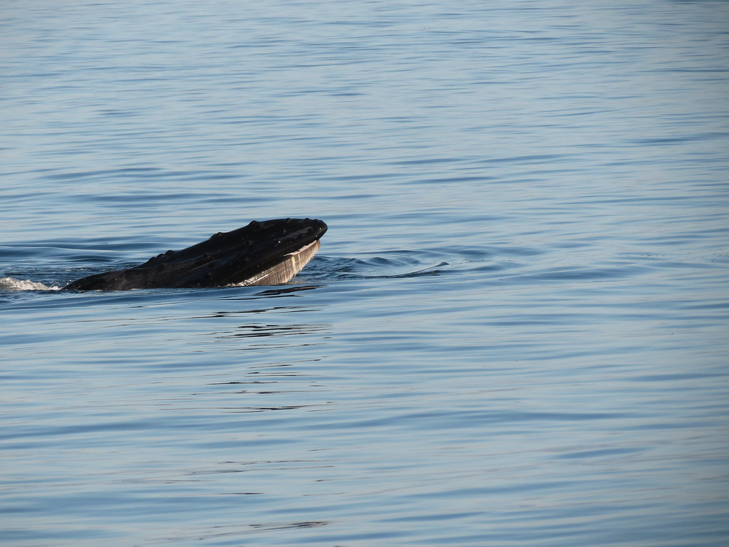 Whale Watching in Eden – Which Species to Expect to See